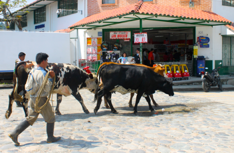 Ranchers herding their cows through town